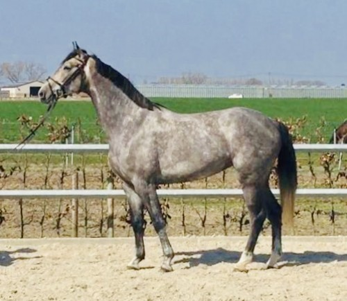 /userfiles/image.php?src=/userfiles/image/c-ingmar-x-conthargos-mare-born-2015.jpeg&w=500&h=0&zc=0